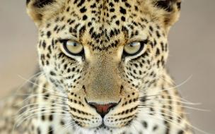 Fondo de pantalla mirada de leopardo