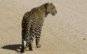 Fondo de pantalla guepardo caminando