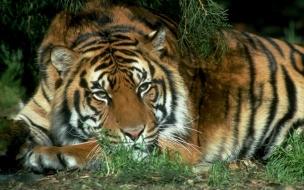 Fondo de pantalla tigre cansado