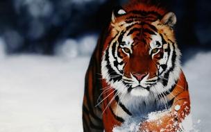 Fondo de pantalla tigre de bengala