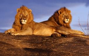 Fondo de pantalla leones descansando