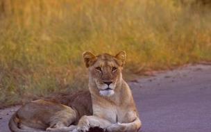 Fondo de pantalla leona en la calle