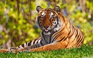 Fondo de pantalla tigre en cesped