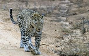 Fondo de pantalla Leopardo caminando