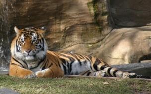 Fondo de pantalla tigre esperando