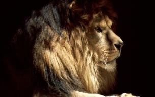 Fondo de pantalla leon con gran melena