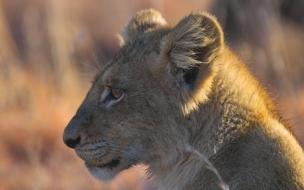 Fondo de pantalla leon bebe mirando