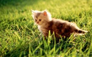 Fondo de pantalla gatito en cesped curioso