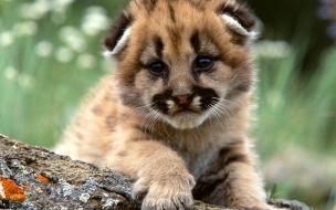 Fondo de pantalla guepardo bebe