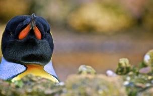 Fondo de pantalla de pinguino real