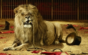 Animal wallpapers lion tamer ate