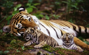 Fondo de pantalla tigre con sus hijos