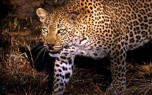 fondo de pantalla leopardo cazando