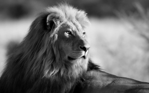 Black and white wallpaper with lion hd animal background photo
