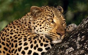 Fondo de pantalla leopardo pensando