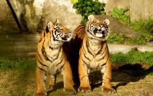 Fondo de pantalla tigres caminando