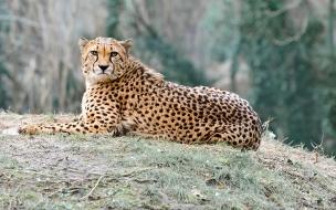 fondo de pantalla guepardo mirando