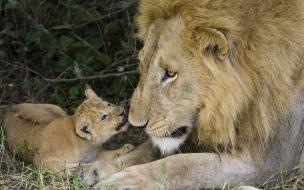 Fondo de pantalla leon con su bebe