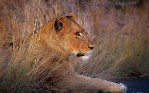 Fondo de pantalla leona mirando