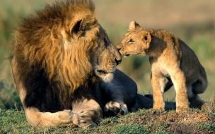 Fondo de pantalla Leon jugando con su hijo