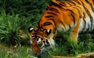 Fondo de pantalla tigre tomando agua