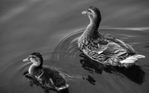 Pareja de Patos en blanco y negro