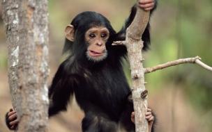Foto de Chimpancé pequeño.