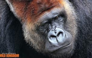 Imagen de Gorilla Pelicula Wild Kingdom