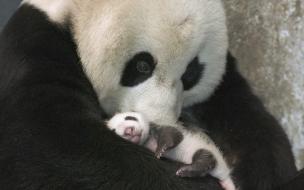 Mama panda y su cria