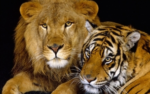 Tiger and lion animal wallpaper