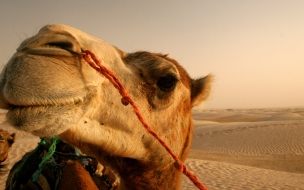 Camello en el desierto