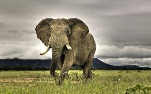 Elefante africano en la pradera