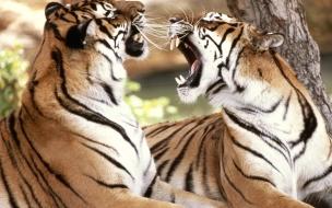Fondo de pantalla tigres jugando