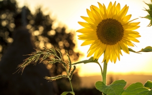 Sunflower sun summer yellow