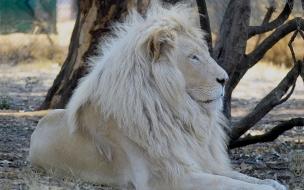 Fondo de pantalla leon blanco