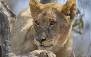 Fondo de pantalla leona