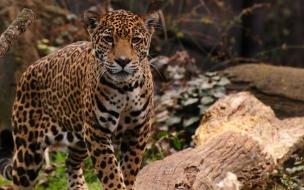 Fondo de pantalla jaguar observando