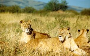 Fondo de pantalla de leonas