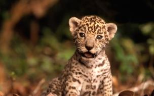 Fondo de pantalla leopardo bebe