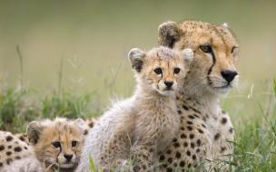 Fondo de pantalla familia de guepardos