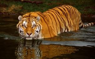 Fondo de pantalla tigre entrando al agua