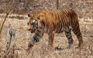 walking tiger wallpaper