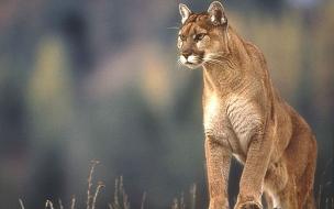 Fondo de pantalla puma cazando