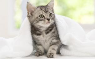 Fondo de pantalla gato debajo de una toalla