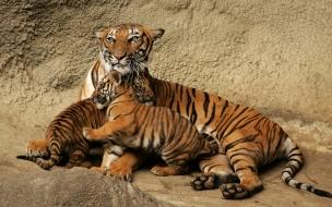 Fondo de pantalla tigre con sus bebes