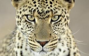 Fondo de pantalla leopardo mirando
