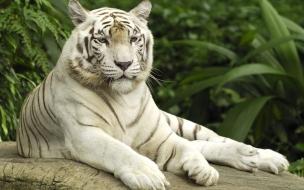 Fondo de pantalla tigre de bengala acostado