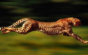 Fondo de pantalla de guepardo cazando