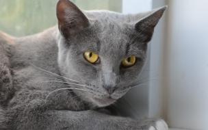 Fondo de pantalla gato ceniza
