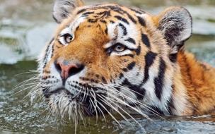Fondo de pantalla tigre nadando